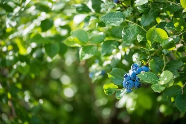 【2019年】東京でブルーベリー狩りのおすすめの農園まとめ!食べ放題や無農薬についても調べてみた!
