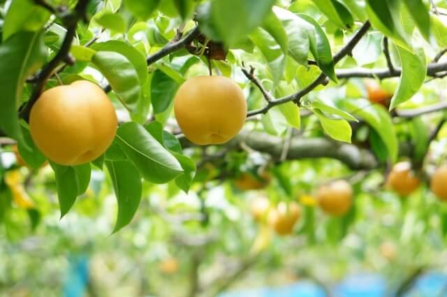東京で梨狩りのおすすめの農園まとめ2019!食べ放題や無農薬についても調べてみた!