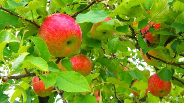 東京近郊のりんご狩りのおすすめの農園まとめ2019!食べ放題や無農薬についても調べてみた!